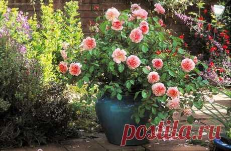Розы в контейнерах – выбор емкости и особенности ухода за растением