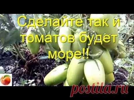 Сделайте так  и Томатов вырастет много Рассада не вытянется Tomato Урожай вырастет в разы! Проверено