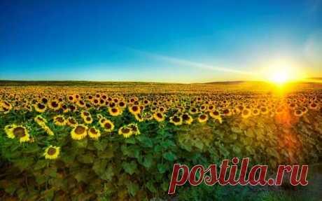 Из истории подсолнечника — цветка солнца . Тут забавно !!!