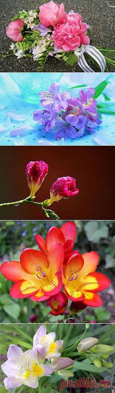 фото цветы Фрезия: