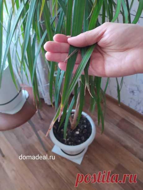Сохнут кончики листьев – решение есть | Домадил - DomaDeaL.Ru | Яндекс Дзен