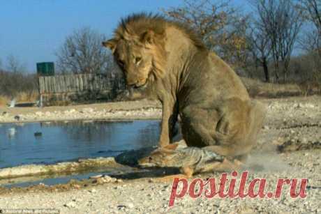 Чепрачный шакал: Старшие хищники его не уважают, но он таки добился успеха в суровой Африке | Рекомендательная система Пульс Mail.ru