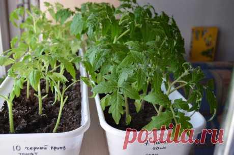 Китайский метод выращивания рассады томатов, всегда дает больше урожай, мой опыт | Садоводство с Элен | Яндекс Дзен