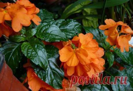 Цветок кроссандра - уход и размножение в домашних условиях с фото