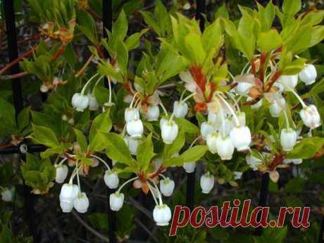 Растение Энкиантус: фото, сорта, выращивание, посадка и уход