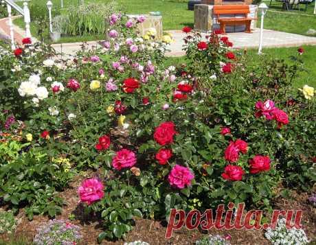 Как ухаживать за розой, чтобы она хорошо цвела