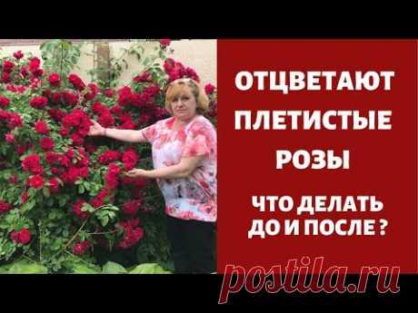 СРОЧНО! Отцветают плетистые  розы! Что делать до и после? Об обрезке плетистых роз после цветения