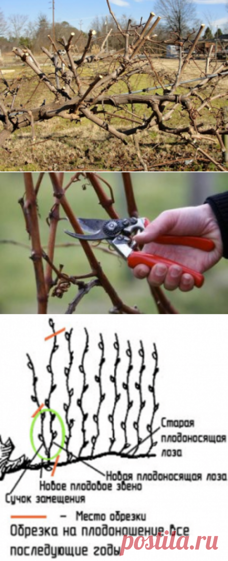 Секреты хорошего урожая: как правильно обрезать виноград — В РИТМІ ЖИТТЯ