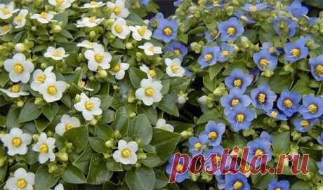 Фото разных видов экзакума — уход за комнатным цветком