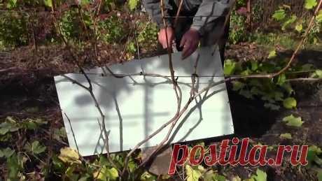 Обрезка винограда осенью. Подготовка винограда к зиме