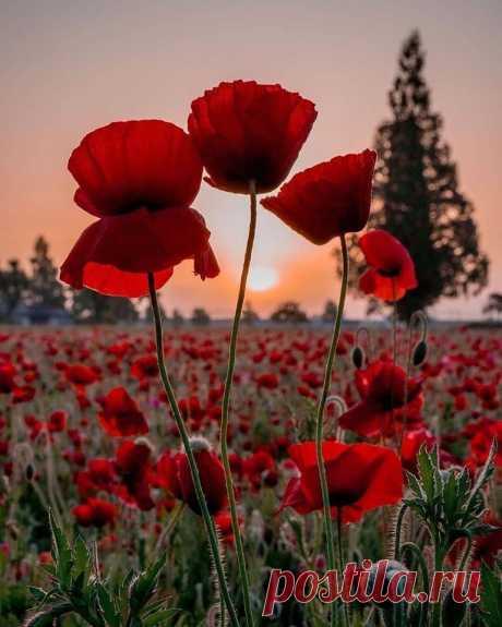 На полях былых сражений распустились маки, Распустились для солдат, пока нет атаки... А атак уж, нет давно, и войны, тем боле... Это тысячи солдат обступили поле... Защищая край родной, землю обнимали, И погибшие в бою, маками вставали... Маки - мужества цветы поле обступили... И от скорби тех потерь, головы склонили... И стоят цветок к цветку, полыхает поле... То солдатские сердца... Рдеют на просторе... Поле памяти войны, НЕТ!!! - кричит атакам Просит поле у людей: Поклонитесь макам