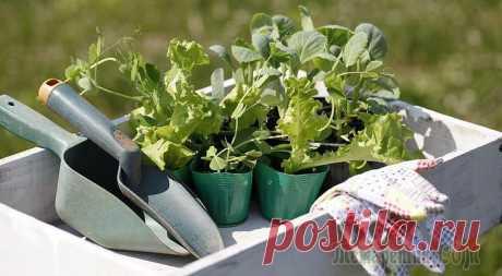 Посадка капусты и огурцов на рассаду и в грунт по Лунному календарю 2016 года