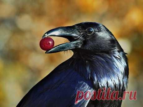 Девочка ежедневно кормила ворон и птицы ей отплатили