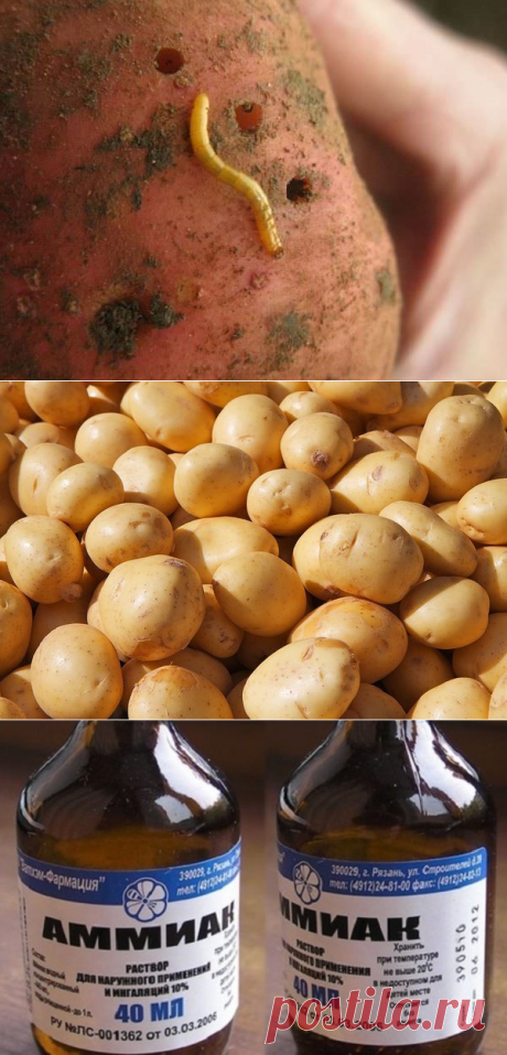 Нашатырный спирт от проволочника на картошке | Дачные секреты от Виктории Радзевской | Яндекс Дзен