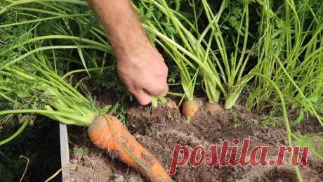 Как правильно убрать морковь и подготовить корнеплоды к зимнему хранению? Видео — Ботаничка.ru