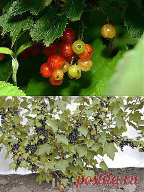 Как выращивать смородину на шпалерах   ОГОРОД БЕЗ ХЛОПОТ