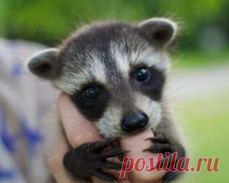 25 raccoons by Friday (25 photos) | Oh, damn the Small selection of photos of raccoons. Protect mimimetr!