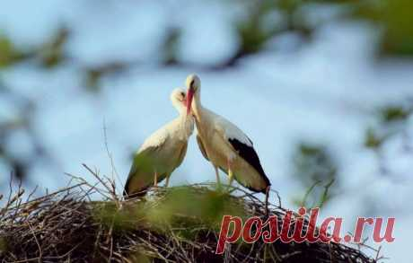 Удивительная история любви одной пары аистов (8 фото) . Тут забавно !!!
