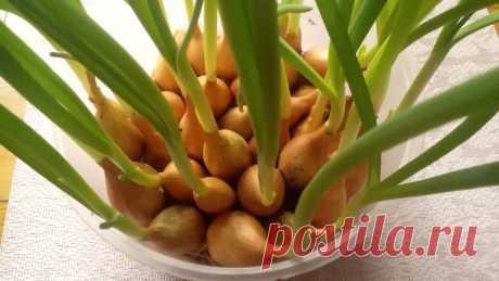 Выращиваю лук на перо на туалетной бумаге в надутом пакете — каждую неделю снимаю сочный урожай | Собираем урожай | Яндекс Дзен