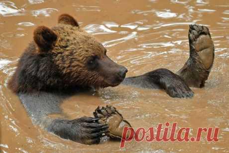 Медведь плавает в бассейне в бристольском зоопарке Wild Place Project. Снимок: Бен Бирчалл / AP.