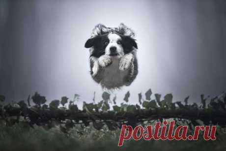 18 потрясающих собак в полете от итальянского фотографа Клаудио Пикколи