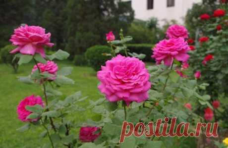 Черенкование розы осенью. Простой способ размножения