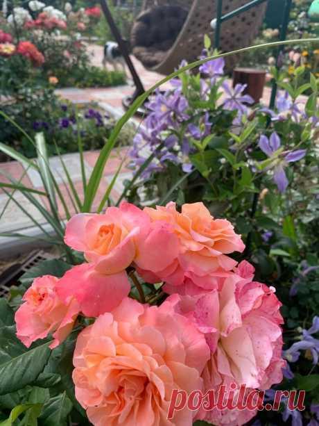 Работы с розами в сентябре. 10 пунктов на заметку розоводам.   Росток 🌱   Яндекс Дзен