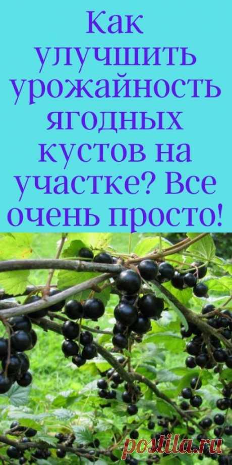 Как улучшить урожайность ягодных кустов на участке? Все очень просто! - My izumrud