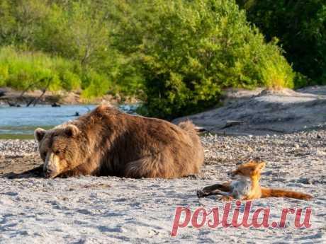 «Пляжный отдых» Лиса и медведь греются на солнышке на берегу нерестовой реки, Камчатка. Автор фото – Владимир Омелин: nat-geo.ru/community/user/212919/