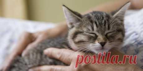 Почему кошки мурчат во время боли - Кот и кошка Распространённое мнение о том, что кошки мурчат только во время удовольствия, — заблуждение. В отлич