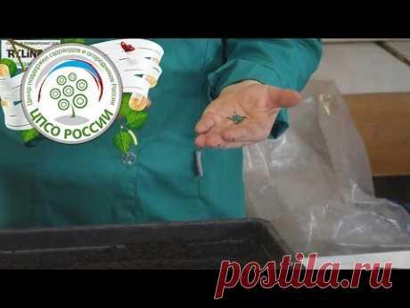 Кольраби - выращивание из семян. Посев семян капусты кольраби. - YouTube
