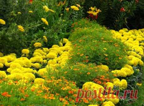 Бархатцы: виды, выращивание из семян, болезни. Посадка рассады бархатцев в открытом грунте