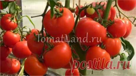 Томат Любаша: описание, отзывы, фото, характеристика | tomatland.ru