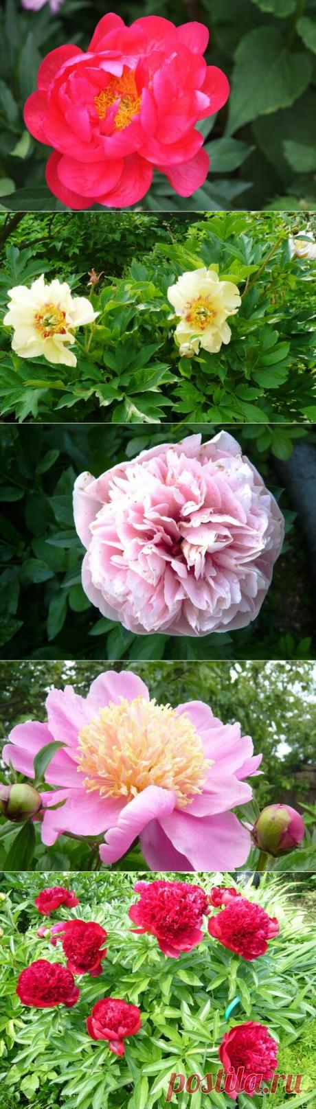 Уход за пионами весной, летом и осенью | Блоги о даче, рецептах, рыбалке #Садидача, #Цветы, #Осень, #Лето  Роскошные шапки пионов на крепких цветоносах – гордость любого сада. Их цветение особенно желанно после долгой зимы.  Пионы, пожалуй, одни из самых крупных цветов среди многолетников.
