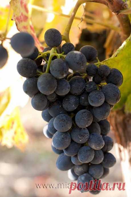 Сколько плечей (рукавов, отводков или побегов) оставлять на кусте винограда при обрезке