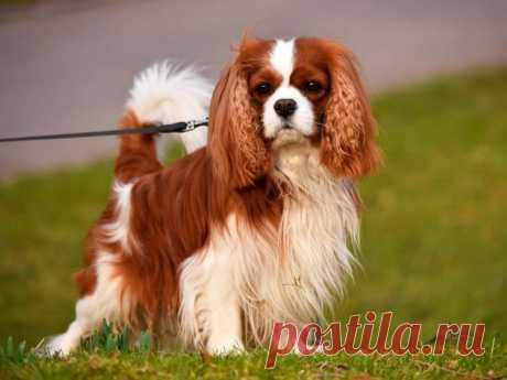 Кавалер-кинг-чарльз-спаниель: описание породы собак с фото и видео Обзор породы собак Кавалер-кинг-чарльз-спаниель с фото и видео. Происхождение, внешний вид, характер, содержание, здоровье, цена и многое другое