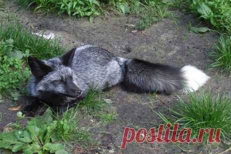 Such beautiful and unusual black foxes