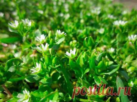 Трава звездчатка средняя или мокрица полезные свойства