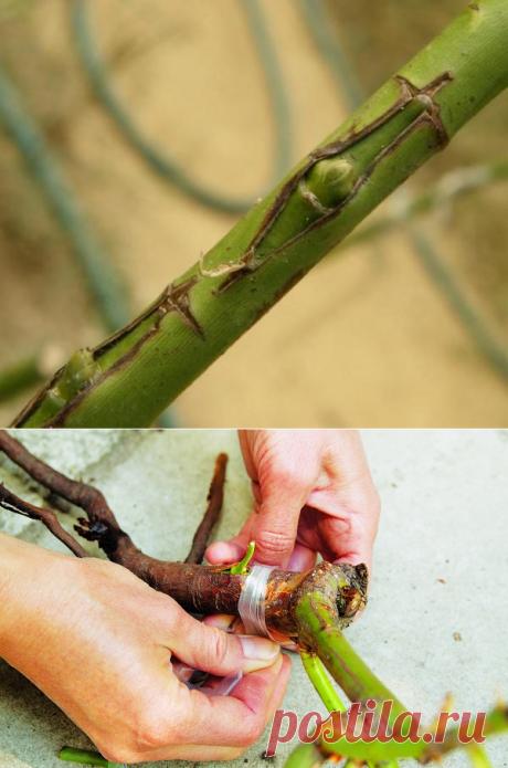 Как привить розу на шиповник: пошаговая инструкция, окулировка