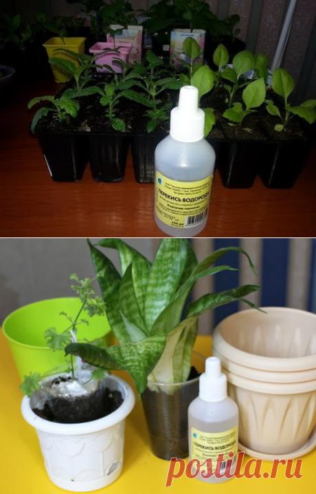 Перекись водорода для комнатных цветов-бальзам в зимнее время. Особенности применения