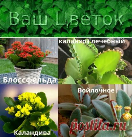 Каланхоэ – уход в домашних условиях, фото комнатных цветов, описание декоративных культиваров