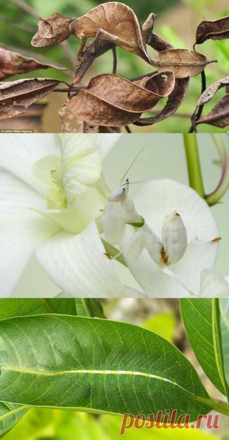 Насекомые-эксперты по камуфляжу: листохвостый гекон, орхидейный богомол и другие мастера маскировки