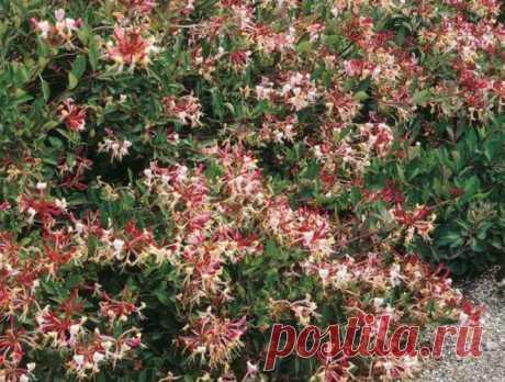 Жимолость каприфоль: размножение кустарника (черенками, семенами, отводками)