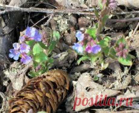 Медуница неясная. Одно из первых цветковых растений, расцветающее ранней весной. Прекрасный медонос