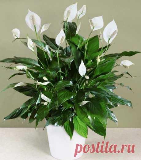 Как заставить цветок Женское счастье красиво цвести | Все о цветоводстве | Яндекс Дзен