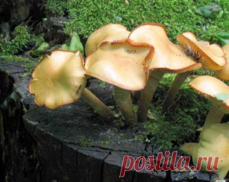 Опенок летний - пока без смертоносного двойника | Это грибы! | Яндекс Дзен