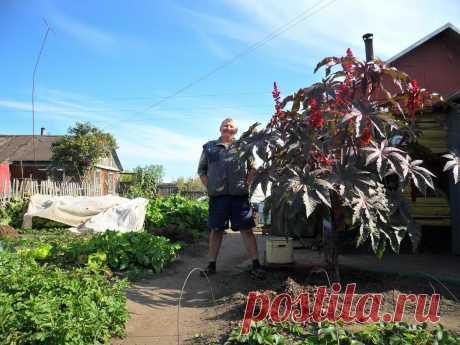 """Как вырастить """"пальму"""" на участке за один сезон"""