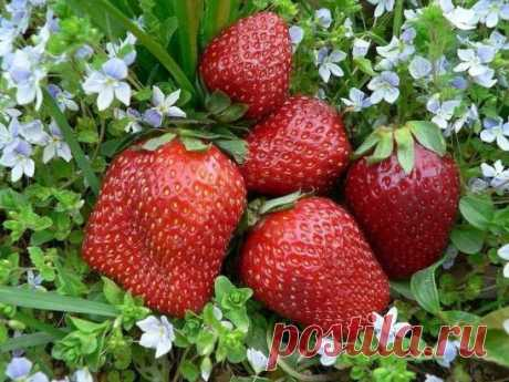 4 BEST FERTILIZERS FOR STRAWBERRY \u000aThe chicken dung, is good what the high percent of nitrogen without which berry is not capable to make large, juicy and sweet fruits contain. The chicken dung as top dressing in the liquid state is used. Standard calculation 1 liter of a bird's dung on 10 liters of water not to burn a plant has to stay the prepared solution about three days.\u000aFermented milk products, for example serum. It is known that milk contains minerals, nitrogen, calcium, sulfur...