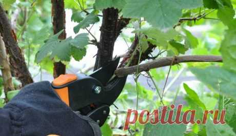 Какие удобрения закладывать под смородину осенью?? Работаем на будущую урожайность! | Любимая Дача | Яндекс Дзен