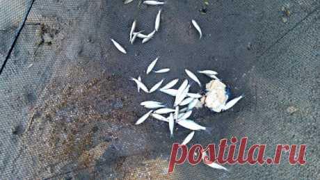 Почему некрупная рыба стремится держаться песчаных отмелей | Дневник рыбака | Яндекс Дзен